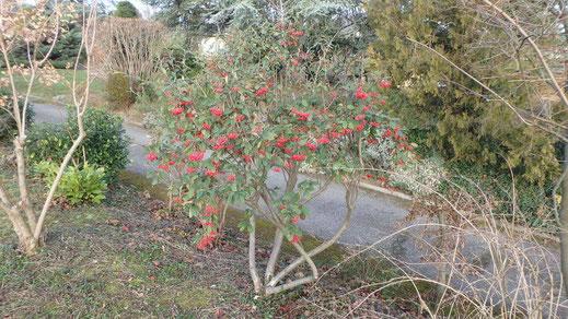 sylva-jardins-paysages.fr-Cotoneaster lacteus remonté