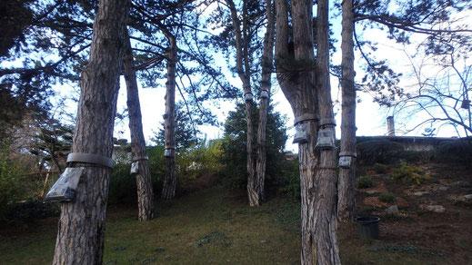 sylva-jardins-paysages.fr-pose d'écopieges contre la chenille processionnaire du Pin