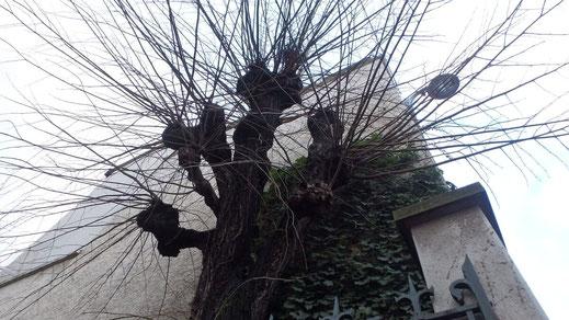 Tilleul à grandes feuilles avant la taille des réitérations de 2 ans sur têtes de chat