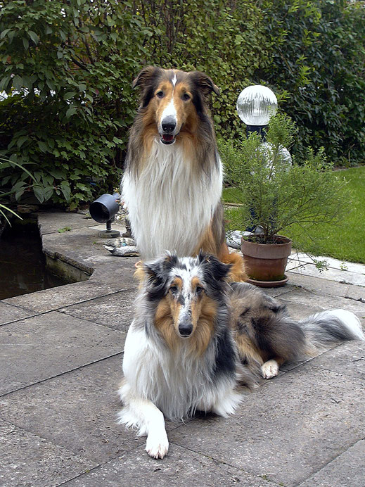 Tierpension Villa Kunterbunt, große Collie  Hunde in Stuttgart in der Hundepension 4 Pfoten