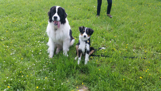 Hope, Landseer mit Ella, Australian Shepherd