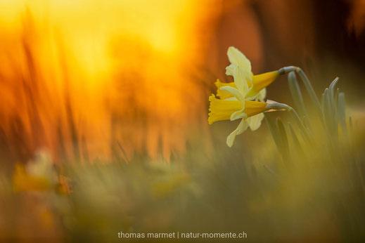 Aprilglocke, gelbe Narzisse, Osterglocke,