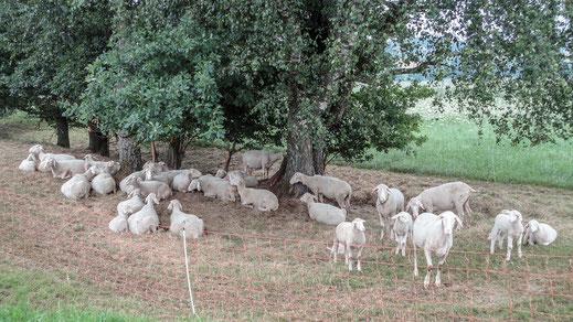 Ruhende Merinolandschaf-Herde auf der Weide