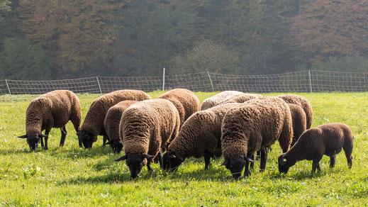 Juraschafe, eine fruchtbare stark asaisonale Schafrasse