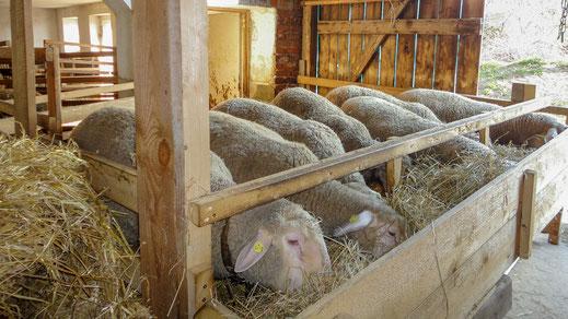 Merinolandschafe im Stall bei der Fütterung