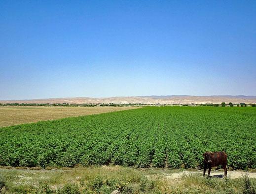Alles flach und viel Landwirtschaft prägen die Strecke nach Buchara