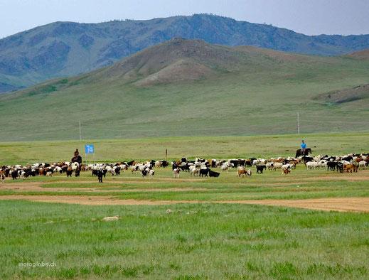 Mongolische Sheepboys