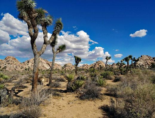 Motoglobe Motorradreisen. Schöne grosse Joshua Trees stehen in einer steinigen mit Sand bedeckten Landschaft.