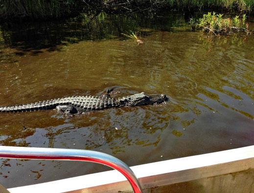 Motorradreisen, Wasser, Alligator