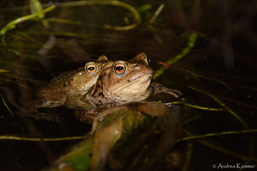 Ein Erdkröten-Paar im Gartenteich (Foto: Andrea Kammer)