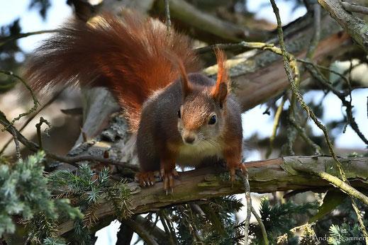 Eichhörnchen mit Unschuldsmiene (Foto: Andrea Kammer)