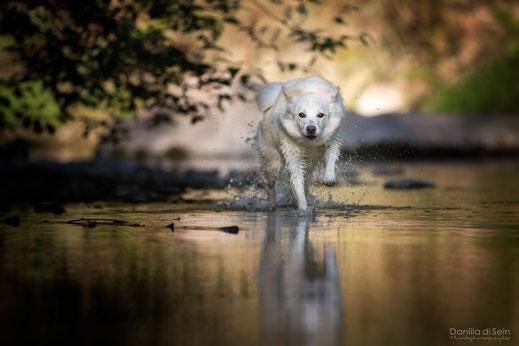 Islandhund - Icelandic Sheepdog rennt im Wasser