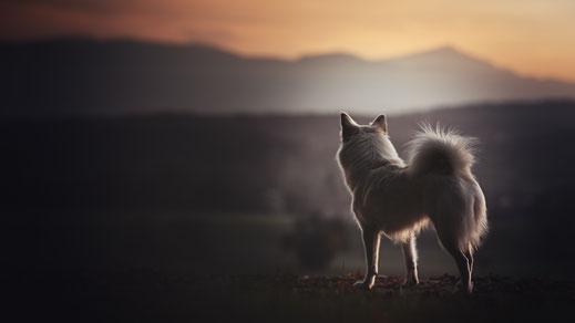 Islandhund - Icelandic Sheepdog im Sonnenuntergang
