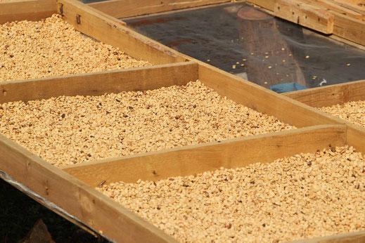 Jamaica Farm Kaffee trocknen