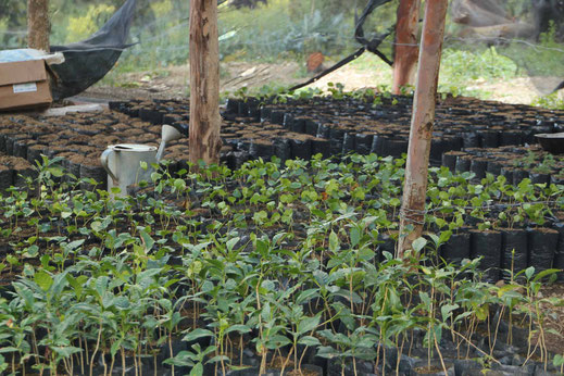Coffee plant cultivation