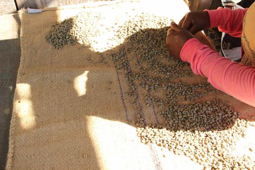 Jamaica Blue Mountain Rohkaffee selektion
