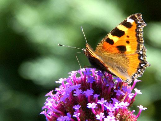 la Petite Tortue et ses nombreux amis papillons se plaisent aux Jardins de la Pérouse du Mitan