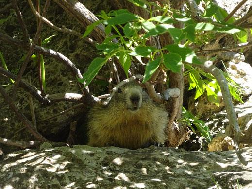 Petite marmotte juste à côté de la rivière