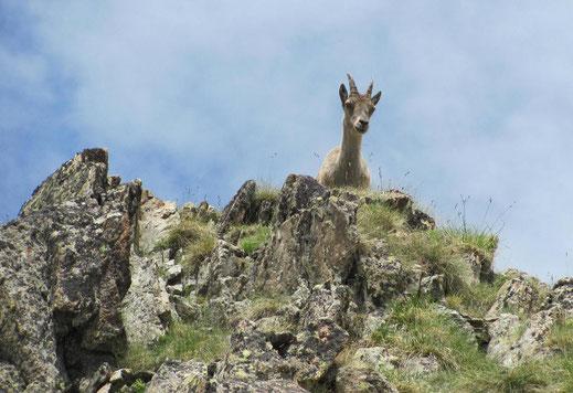 Le seul chamois vu pendant la randonné, qui nous observait juste au-dessus du panneau