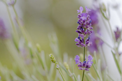 Lavendelblüte © Jutta M. Jenning ♦ www.mjpics.de