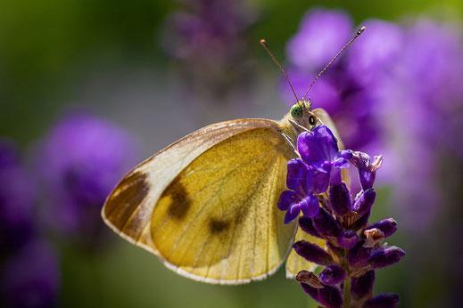 Kohlweißling an Lavendel ♦ Makrofotos downloaden bei www.mjpics.de