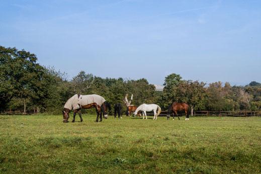 pferde-auf-der-koppel-II