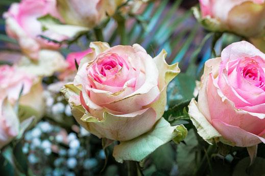 Rosafarbene Rosen in Blüte