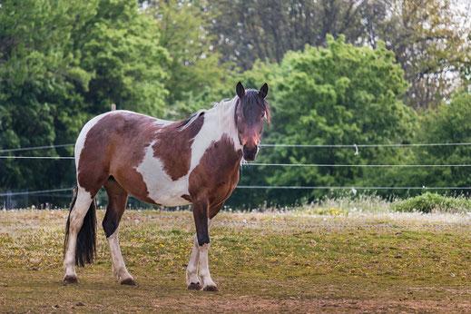 braun-weiss-geschecktes-pferd-auf-weide