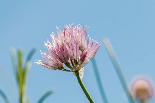Schnittlauch Blüte einzeln vor blauem Himmel