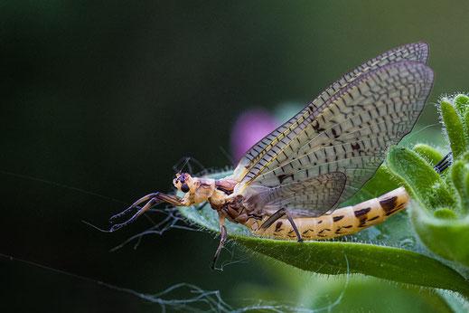 Eintagsfliege ♦ Insekt des Jahres 2021 ♦ © Jutta M. Jenning mjpics.de