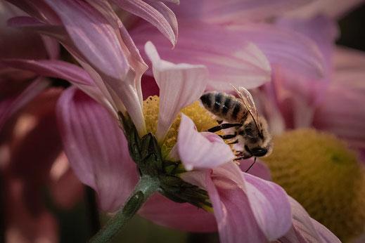 Biene saugt Nektar an Chrysantheme © Jutta M. Jenning ♦ mjpics.de