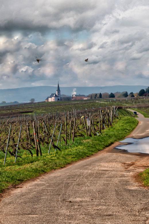 Wandern durch die Weinberge . Im Hintergrund sieht man die Sankt Peter und Paul Kirche in Hochheim am Main