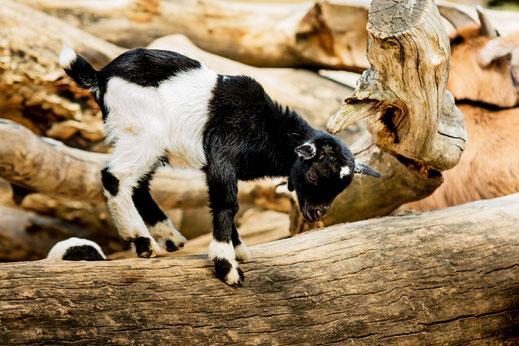 junges-zicklein-kleine-ziege-tollt-auf-baumstamm-herum-tiere