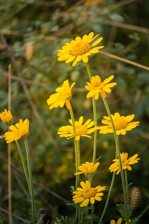 Gelbe Feldblumen im Herbst hochkant