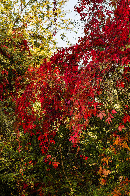 Buntes und rotes Herbstlaub leuchtet in der Sonne - hochkant www.mjpics.de