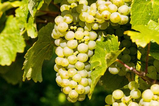 Helle Weintrauben an der Rebe © Jutta M. Jenning