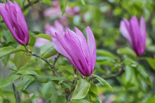 Rosafarbene Magnolienblüten