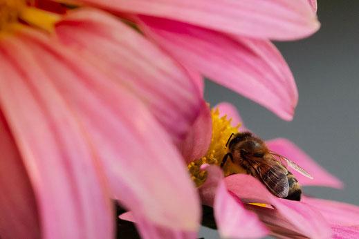 Biene auf rosafarbener Chrysantheme © Jutta M. Jenning ♦ ww.mjpics.de