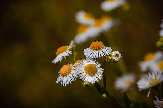 Weißer Feinstrahl-Pflanze mit weißen Blüten