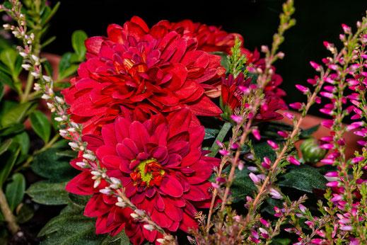 Rote Herbastern-Erika-Mix auf dem Balkon
