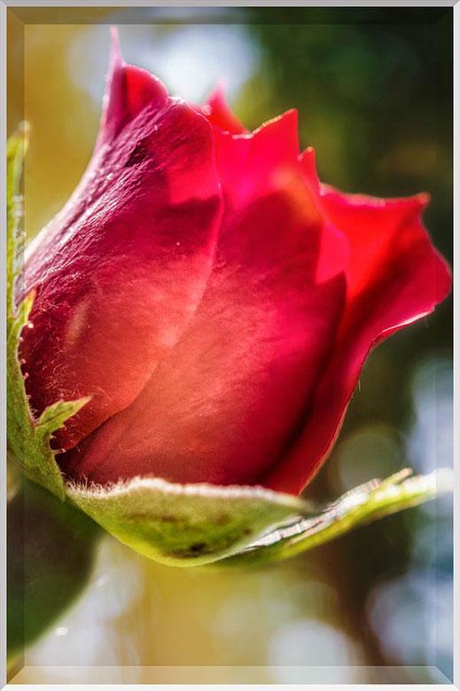 Rote Rose mit Bokeh Hintergrund
