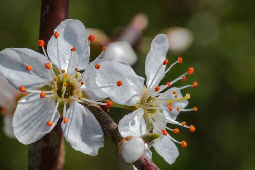 Weißdornblüten copyright Jutta M. Jenning