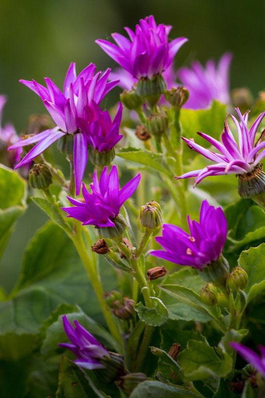 Senetti-lilafarbene Aschenblume mit vilen Blüten
