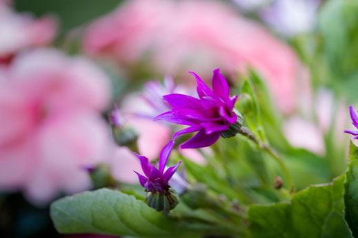 lilafarbene Senetti-Aschenblume-Balkonpflanzen