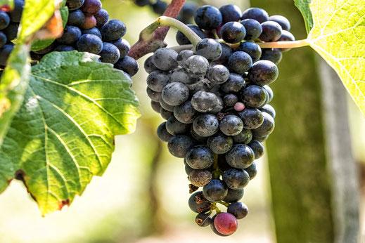 Rote Weintrauben an der Rebe © Jutta M. Jenning