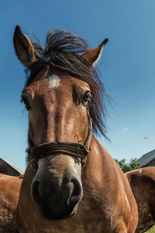 Braunes Pferd auf der Koppel - Portrait
