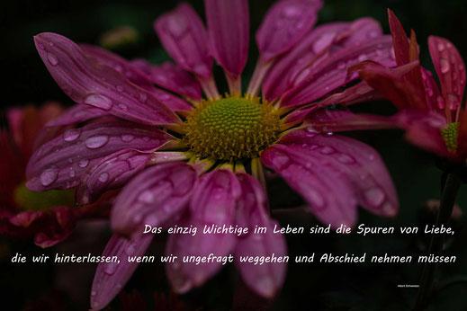 Spruchkarte Abschied-Chrysantheme mit Regentropfen-© Jutta M. Jenning/mjpics.de
