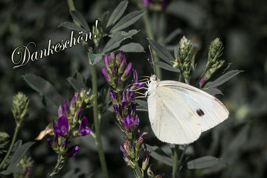 "Grußkarte-""Dankeschön"" Schmetterling-Kohlweißling an Blüten"