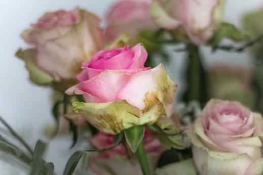 Rosen altweiss und rosa