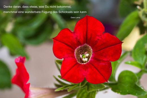 Spruchkarte Schicksal-Rote Petunie © Jutta M. Jenning/mjpics.de